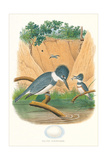 Belted Kingfisher and Egg Affiches