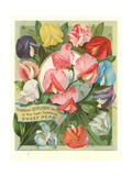 Packet of Sweet Pea Seeds Prints