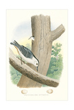 White-Bellied Nuthatch Nest and Eggs Reproduction giclée Premium