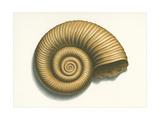 Ribbed Nautilus Seashell Posters