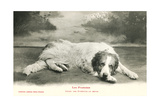 Resting Great Pyrenees Print