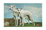 Two Young Greyhounds Art Print