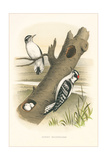 Downey Woodpecker Nest and Eggs Reproduction giclée Premium