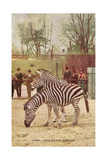 Zebras at Lincoln Park Zoo Prints