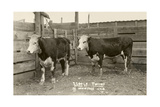 White-Faced Hereford Steer Twins Print