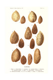 Variety of Almonds Posters