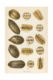 Varieties of Pecans Prints