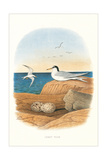 Least Tern and Eggs Affiches