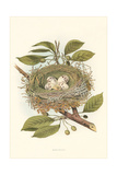 Kingbird Nest and Eggs Posters