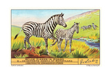 Zebras in the Congo Art
