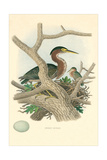 Green Heron Nest and Eggs Prints