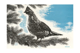 Grouse in Fir Tree Poster