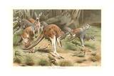 Red Kangaroos Kunst