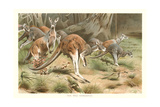 Red Kangaroos Art