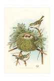 Golden Crowned Kinglet Nest and Eggs Posters