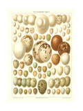 Varriety of Eggs Prints