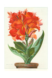 Ever-Blooming Canna Lily Prints