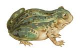 Toad Prints