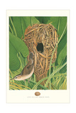 Long-Billed Marsh Wren Posters