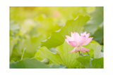Morning Lotus Flower in the Farm under Warm Sunlight Prints by  elwynn
