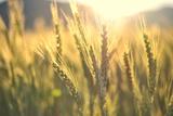 DambrAles - Sunset over Wheat Field Fotografická reprodukce