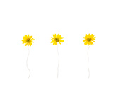Press Yellow Mum Flowers Poster by  Koollapan