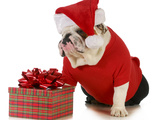 Santa Dog - English Bulldog Dressed Like Santa Sitting Beside Christmas Present Prints by Willee Cole