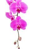 Orchid Radiant Flower Photographic Print by  leungchopan