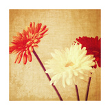 Art Floral Vintage Background with Red and White Gerbera in Sepia Print by Irina QQQ