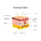 Human Skin Anatomy Posters by  stockshoppe