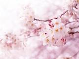 Cherry Blossoms in Full Bloom Reproduction photographique par  landio