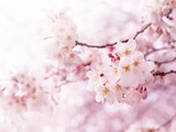 Cherry Blossoms in Full Bloom Stampa fotografica di  landio