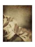 Grunge Photo of Daisy Flowers, Old Grungy Image of Tender Chamomile Posters by Anna Omelchenko