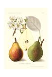 Clapp's Liebling Pears Art