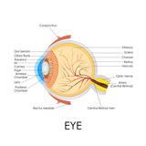 Human Eye Anatomy Poster by  stockshoppe