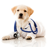 Little Dog as a Vet Wearing Robe and Stethoscope Photographic Print by  andres