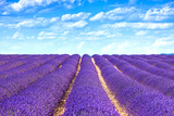 stevanzz - Lavender Flower Blooming Fields Endless Rows Fotografická reprodukce