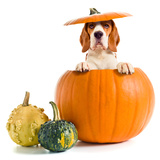 Beagle in Pumpkin Posters by  igorr