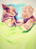 A Cute Chihuahua Sleeping Next to a Teddy Bear Prints by  graphicphoto