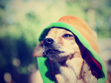 A Cute Chihuahua in a Hoodie Posters by  graphicphoto