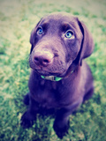 A Cute Chocolate Lab Puppy Sitting in the Grass Photographic Print by  graphicphoto