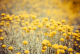 Field Flowers/Buttercup Print by  Curioso Travel Photography