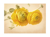 Ranunculus Flowers on Yellow Background Posters by  egal