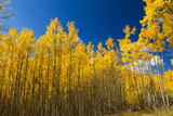 Yellow Aspen Trees Contrast Blue Sky Background Photographic Print by  deberarr