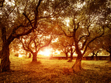 Anna Omelchenko - Picture of Beautiful Orange Sunset in Olive Trees Garden Fotografická reprodukce