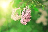 Branch of Lilac Flowers Photographic Print by  Roxana_ro