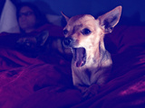 A Cute Chihuahua Watching Tv with a Girl and Another Dog Photographic Print by  graphicphoto