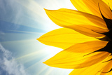 Sonnenblume Fotodruck von  logoboom