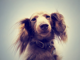 Miniature Long Haired Dachshund with Blue Sky Done with a Retro Photographic Print by  graphicphoto