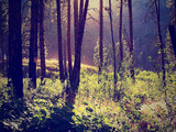 A Forest with the Sun Shining Through Photographic Print by  graphicphoto